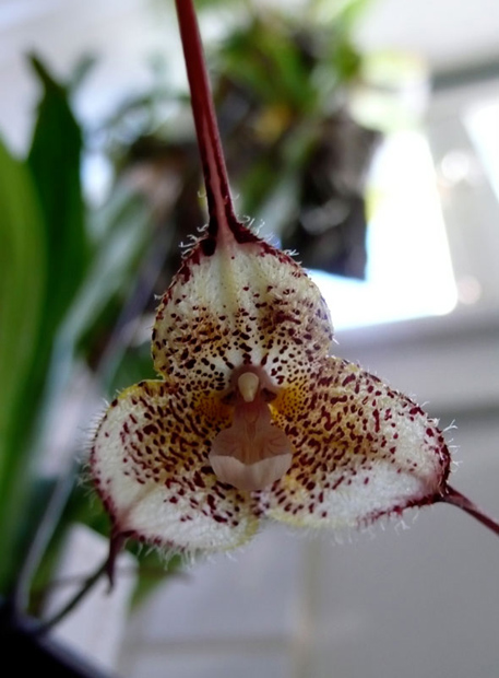 SpookyPlants-DraculaDianaOrchid-radmegan-cL