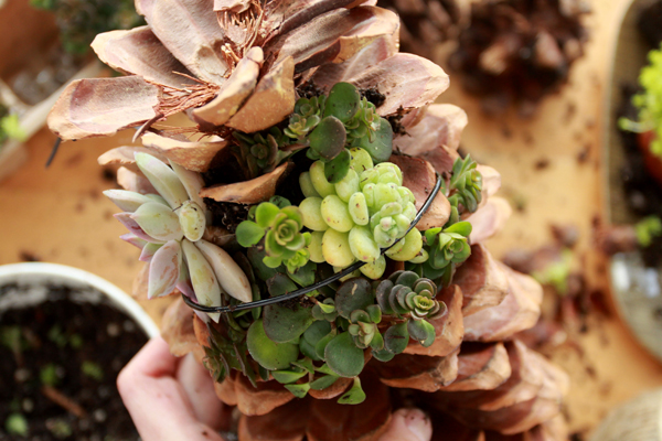 diy pinecone succulent craft idea