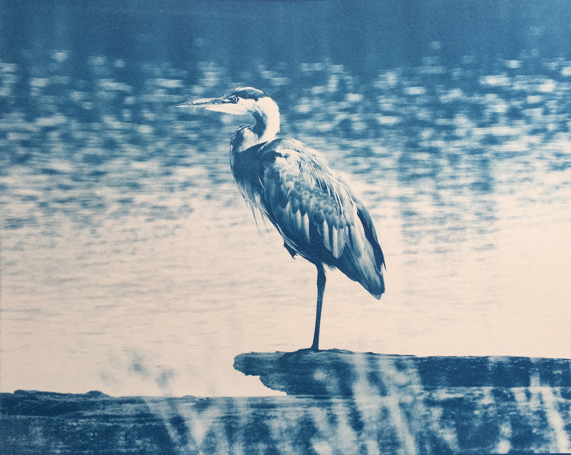 Historical Photographic Processes: Heron cyanotype by Daniel Gregory